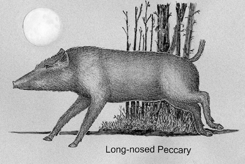 Long-nosed Peccary
