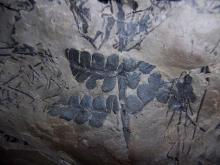 Plant fossils above the Herrin coal from an underground coal mine Possibly Odontopteris.